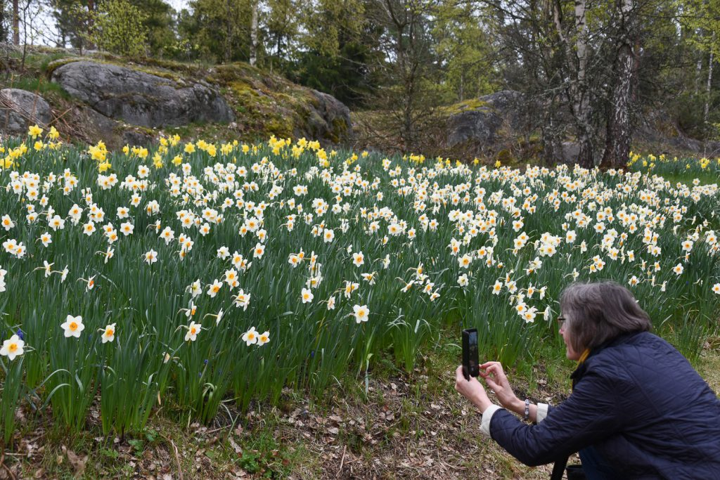 nainen valokuvaa kukkiavia narsisseja