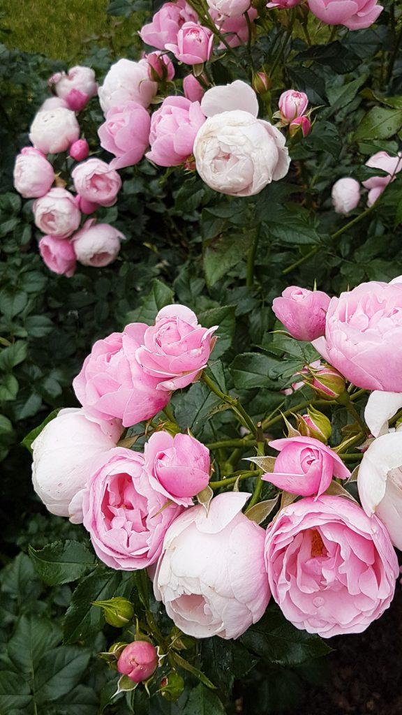 vaaleanpunaisia ruusuja
