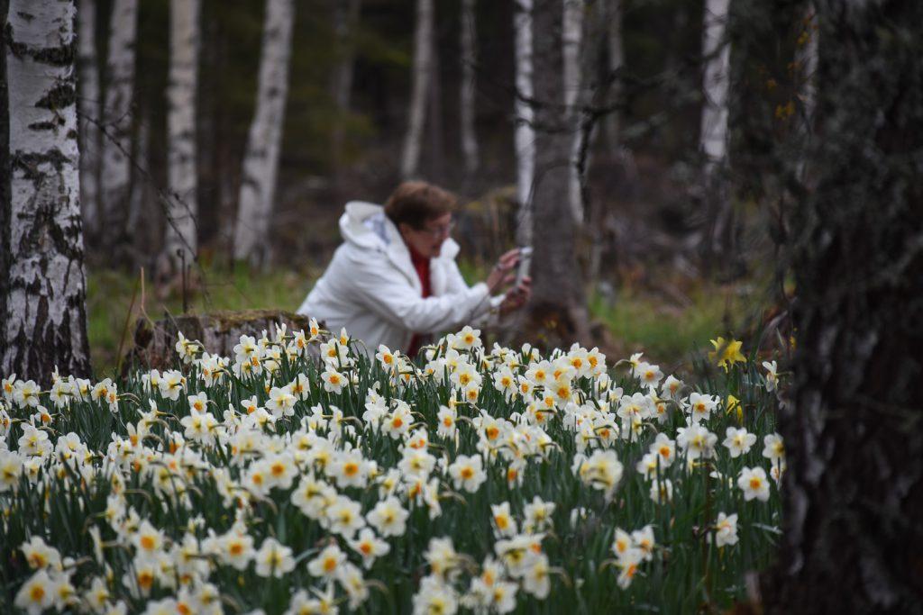 nainen valokuvaa kukkivia narsisseja