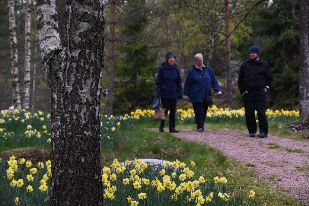 kaksi naista ja yksi mies kävelevät metsässä kukkivien narsissien keskellä