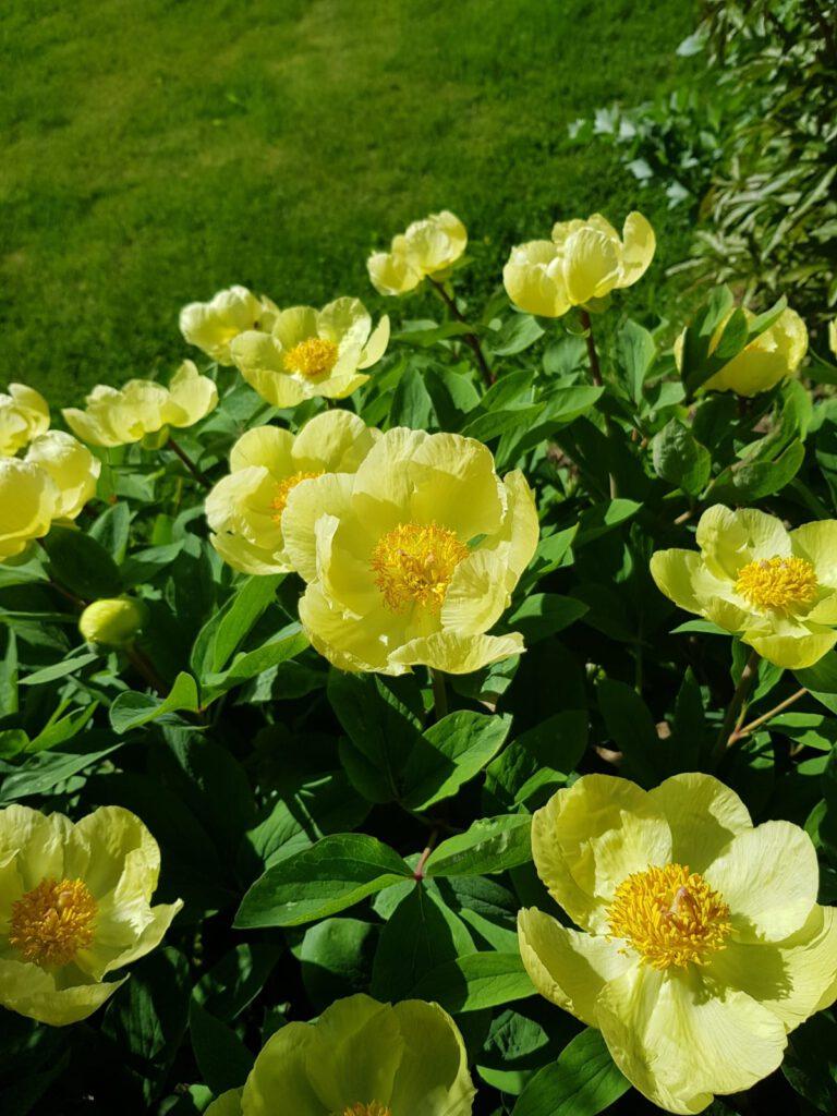 keltainen pionin kukka