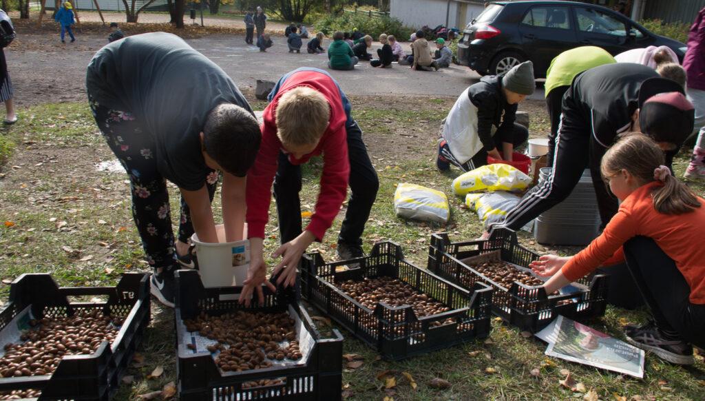 Ryhmä koululaisia, jotka siirtävät tammenterhoja ämpäreistä laatikoihin kuivumaan.