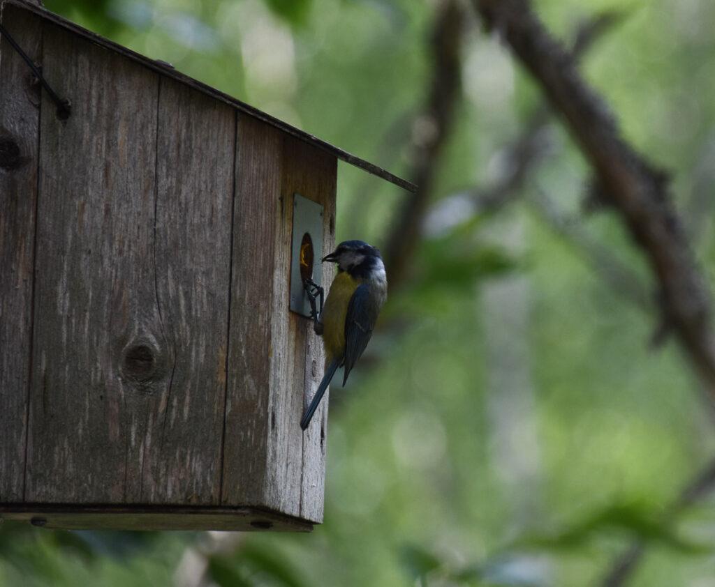 sinitiainen ruokkii linnunpöntössä olevaa poikasta